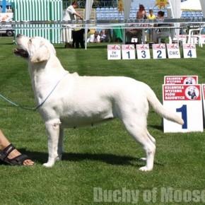 27.07.2008, Włocławek - more successes of our labradors!
